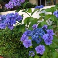 紫陽花(アジサイ)(北九州市小倉北区)Part-2