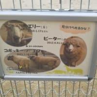 即位礼正殿の儀のため無料開放されている大阪市立天王寺動物園へ。40年ぶりぐらい。昔と変わっています。羊の1匹とお友達に。