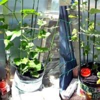 菜園のミニメロン