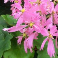 ダイモンジソウの花は
