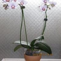 購入後57日が経過したミニ胡蝶蘭の開花状態と蕾の生育の様子。
