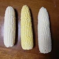 6.アクアファーム中平農園で白いトウモロコシを