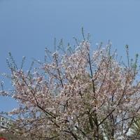「桜&チューリップ」/ダイバーシティ