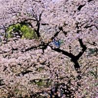 ~~~ 桜をジグソーパズルに例えると ~~~