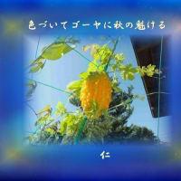 フォト575あそび『 色づいてゴーヤに秋の魁ける 』yyp140