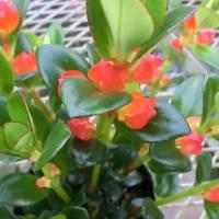 ヒポシルタの花は
