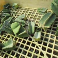 柱サボテンの繁殖