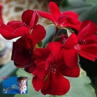 守山の余韻な花々②華やかに咲く深紅