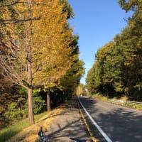 ミニベロ散策 11/15 近所の銀杏並木が見頃です。