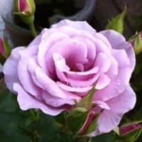 バラが咲いた!!