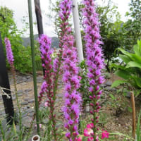キューリ、ピーマンの様子&庭の花