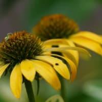 ●ベニシジミ(蝶) 黄色いエキナセアに