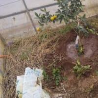ハウスの中にキンカンを植えました