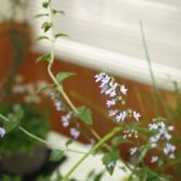 「おはようの花」 季節の山野草  イヌヤマハッカ    10月
