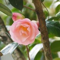 明日手術です。 植物園の椿151品種と追加15品種
