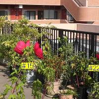 今日のタイタンビカスは4輪開花