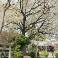 文京の桜を見に行く2021