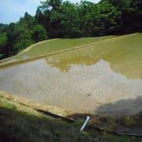 ようやく、山間の田圃にも「恵みの雨」・・・稲の苗も喜んでいます。今年は、田植以降雨が降らないので、ほとんど干上がっていました。