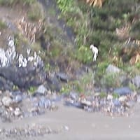 ウミガメの来る浜に防波堤が建てられる③ この浜にはヤギもいた