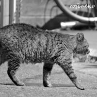 ふぁさふぁさの猫さま