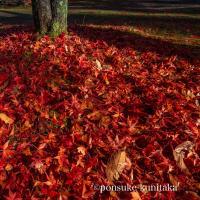京都の散り紅葉