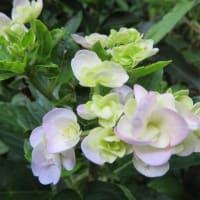 紫陽花「十二単衣」 3