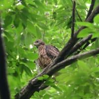 巣から出たばかりの、オオタカの幼鳥。