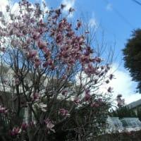 桜と競う木蓮の開花