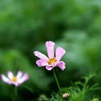 咲き始めたころのコスモス