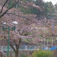 今日(23日)のドリームファームの桜
