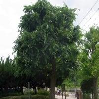 大きな木はエノキのようです。(シダレエノキ情報も)
