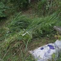 山ウドの草刈る