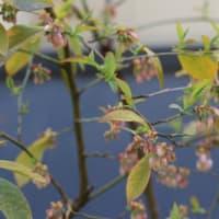 庭のお気に入りタンポポは 日本タンポポだった