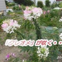 「クレオメ」の花が咲く・・・