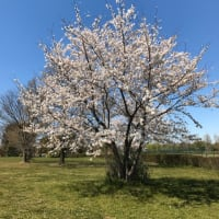 桜の写真を〜🌸