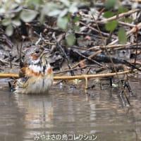 今日の鳥コレクション・・・水場で