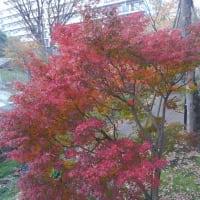 桜堤団地の紅葉