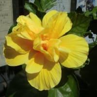 街角に咲く花 猛暑に耐えて📷街角ぶらり旅