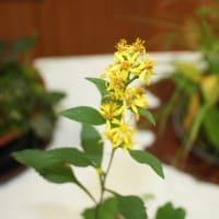 「おはようの花」 季節の山野草  アキノキリンソウ    10月