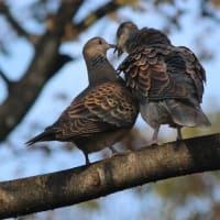 ё 奇跡的に、出会った、ラブラブ(?)キスをする、ハトの姿、ドキドキ眺め ё(岐阜県美濃地方)