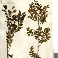 縄文時代からのハーブ、サンショウ(山椒)の花
