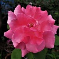 バラ;シモツケ白花;ハタザオキキョウ