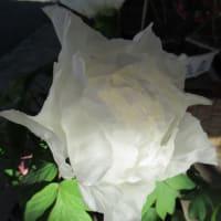 フユボタン(冬牡丹)白牡丹