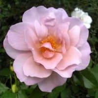 秋咲きの薔薇
