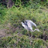 羽を広げて飛びたつ瞬間のアオサギ     船橋桃源郷にて