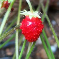 静かに愛でる【乙女椿とソメイヨシノ】コラボ。栽培と購入【イチゴ】◆