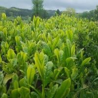 昨日、5月1日は「八十八夜」・・・しんちゃんの山の家の前にある茶の木・・・新芽が出そろい眩しい緑です。