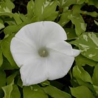 オオヤエクチナシ他植物苑の花