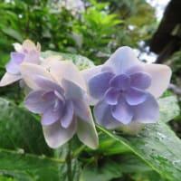 紫陽花「コンペイトウ」 6