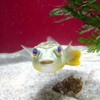 「小さい魚」/カワスイ